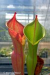Heliamphora ionasii Heavily Red Striped