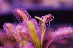 Drosera capensis 'Baines Kloof'